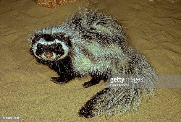 ictonyx striatus (striped polecat, zorilla, african skunk) - skunk stock pictures, royalty-free photos & images