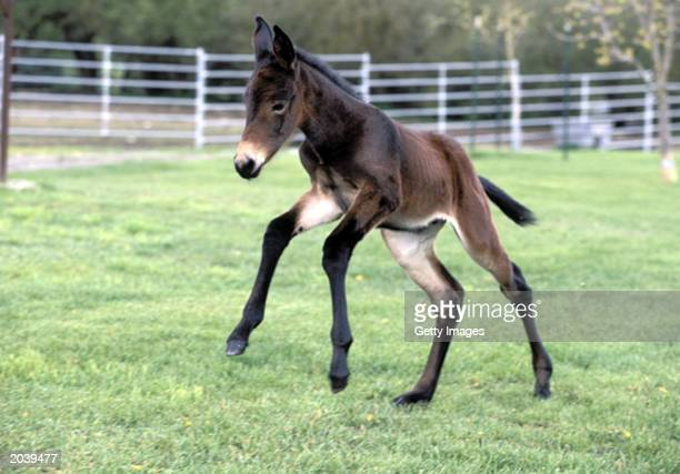 Idaho Gem a cloned baby mule runs in a field According to an article to be published in the Journal of Science a research team at the University of...