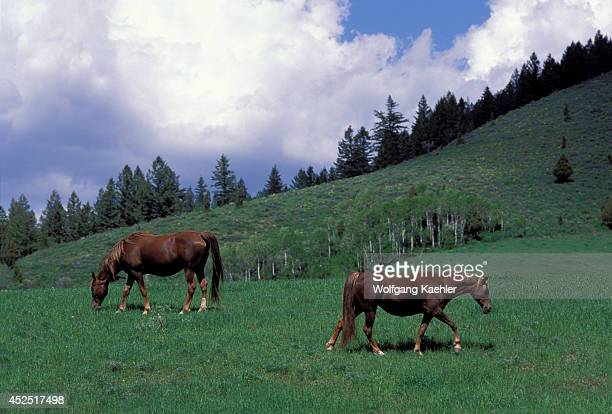 USA Idaho Swan Valley Tennessee Walker Horses