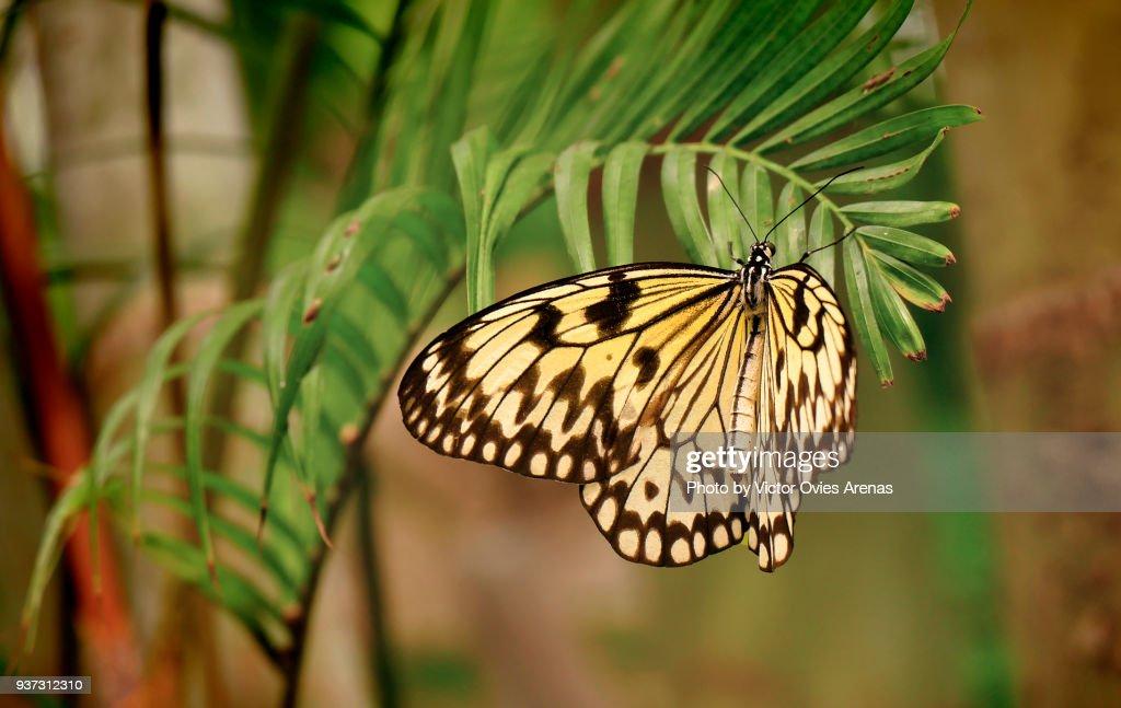 Idea Leuconoe Butterfly. Paper Kite, Rice Paper or Large Tree Nymph Butterfly : Foto de stock