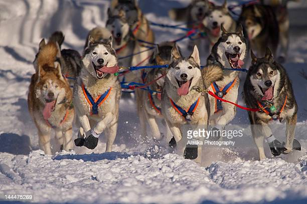 iditarod huskies - sled dog stock pictures, royalty-free photos & images