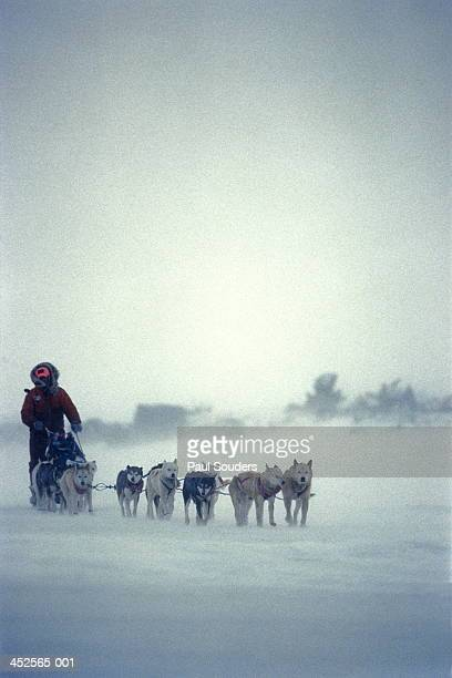iditarod musher,alaska,usa - dog sledding stock-fotos und bilder