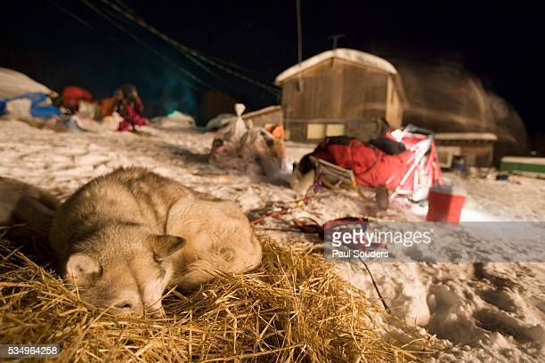 iditarod sled dog curled up for sleep on winter night - iditarod stock pictures, royalty-free photos & images