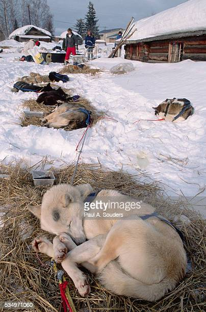 iditarod sled dogs sleeping - iditarod stock pictures, royalty-free photos & images