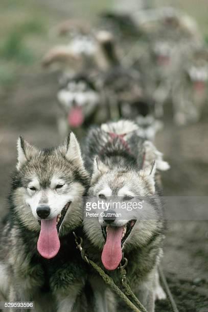 iditerod huskies panting - iditarod stock pictures, royalty-free photos & images