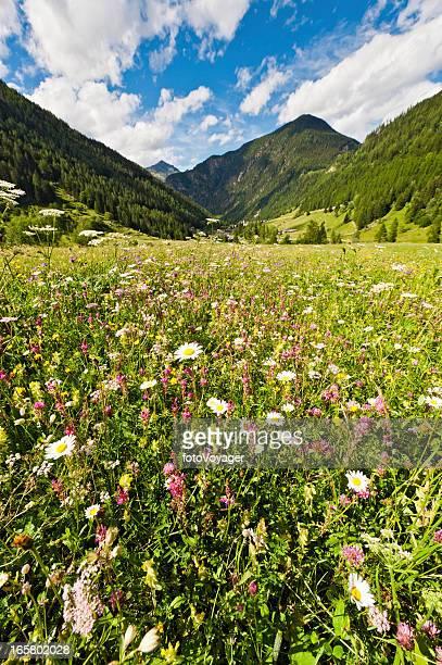 idillio alpine fiori selvatici summer mountain prato - in fiore foto e immagini stock