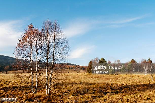 Idyllic autumn landscape with birch trees