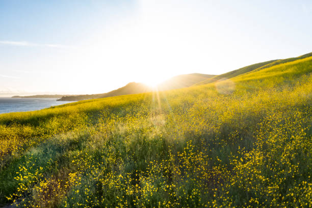 Idyllic California Hillsides Filled with Wildflowers at Sunset Aerial