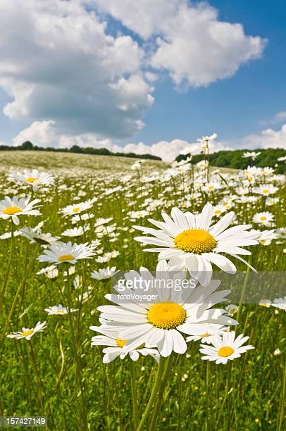 Idyllic daisy meadows summer skies
