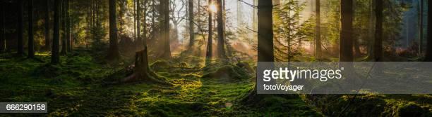 Bosque de cuento de hadas idílico amanecer de verano vigas en panorama madera