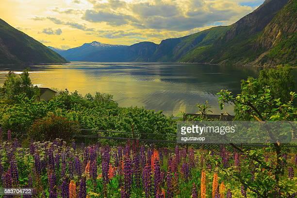 Idyllic fjord landscape reflection, lupine flowerbed, dramatic sunset, Norway, Scandinavia