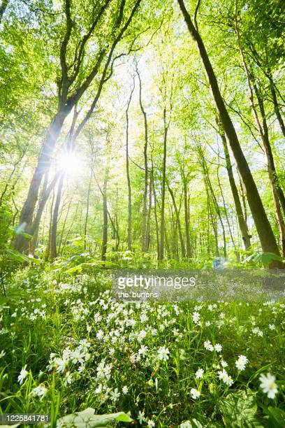 idyllic forest and wild flower meadow in springtime against sun - nature reserve stock pictures, royalty-free photos & images