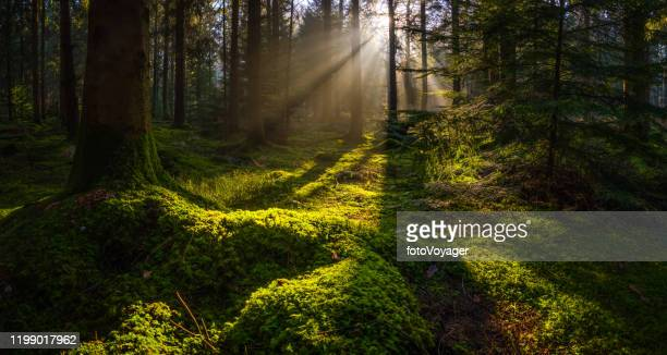 idyllic forest glade mossy woodland golden rays of sunbeams panorama - territorio selvaggio foto e immagini stock