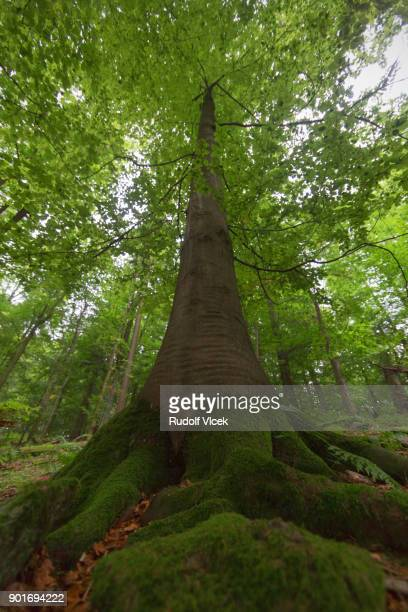 Idyllic forest scene, large beech tree with rich root system, low angle view