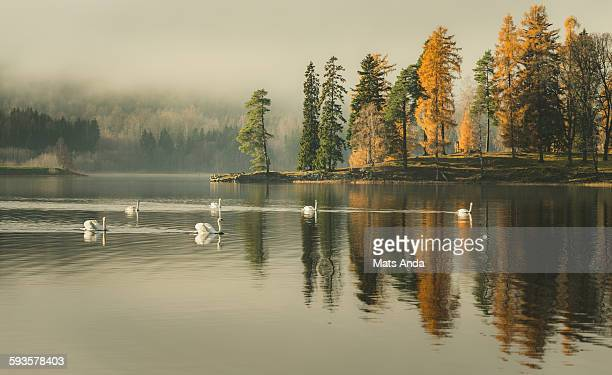 Idyllic lake with swans in fall, November