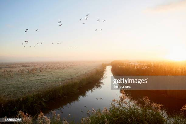 idyllic landscape and flying geese at sunrise, rural scene - morning stockfoto's en -beelden