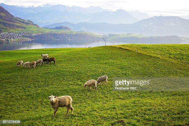 idyllic landscape in switzerland - schwyz stock pictures, royalty-free photos & images