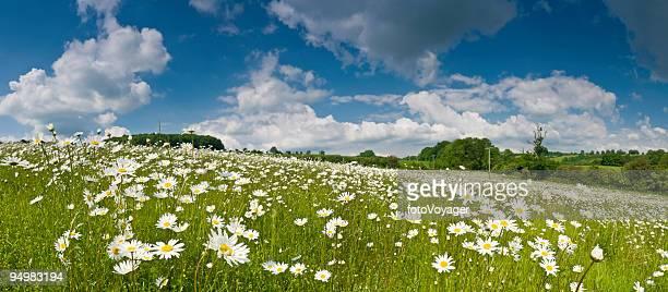 prairie idyllique, sous un ciel d'été - fleurs des champs photos et images de collection