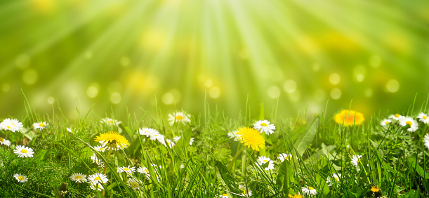 idyllic meadow with daisies and dandelion in sunshine 1136358896