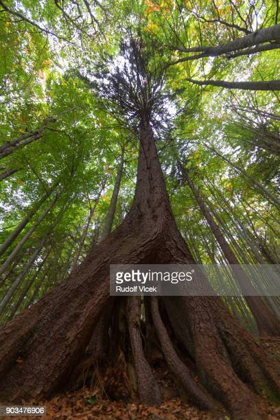 Idyllic nature scenery, old growth (virgin) forest, giant spruce tree with aerial roots