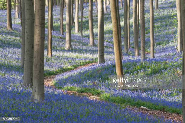 idyllic path with bluebells in haller forest - bluebell stock pictures, royalty-free photos & images