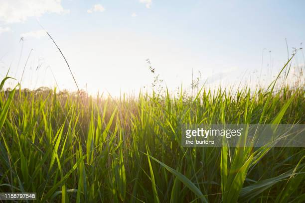 idyllic reed grass against sun and sky during sunset in summer - fokus auf den vordergrund stock-fotos und bilder