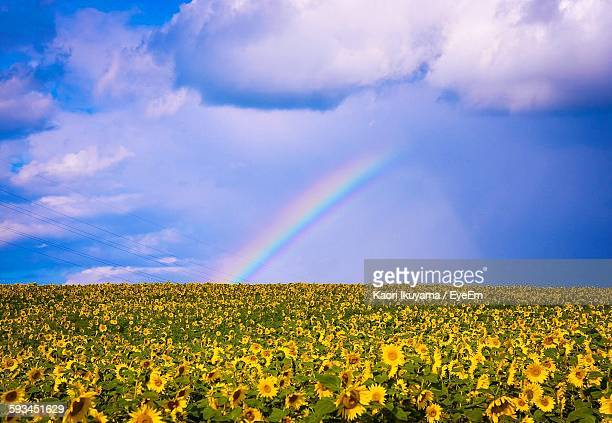 Idyllic Shot Of Rainbow Over Sunflower Field Against Sky