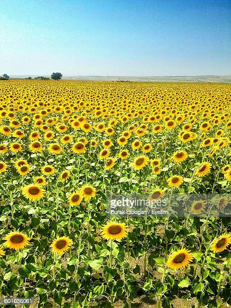 Idyllic Shot Of Sunflower Field Against Clear Sky