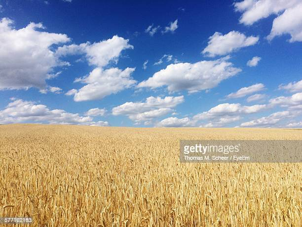 Idyllic Shot Of Wheat Field Against Sky