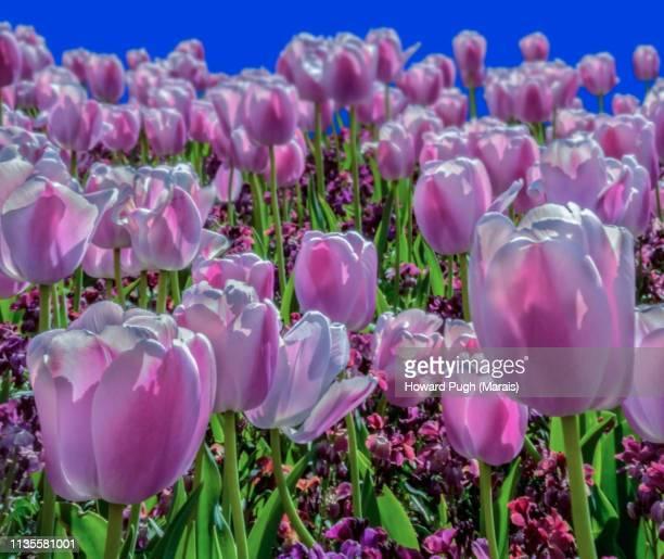 Idyllic Spring Tulips