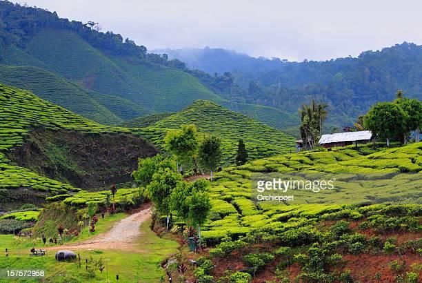 Idyllic Tea Plantation