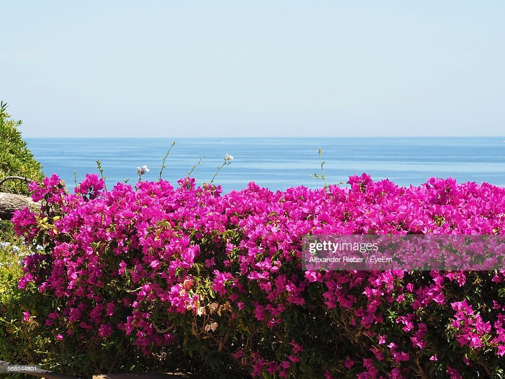 Idyllic View Of Bougainvilleas Blooming By Sea Against Sky : Stock Photo