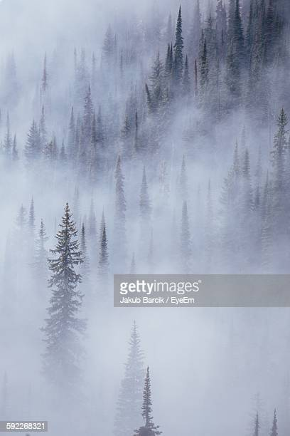 Idyllic View Of Pine Trees In Foggy Weather