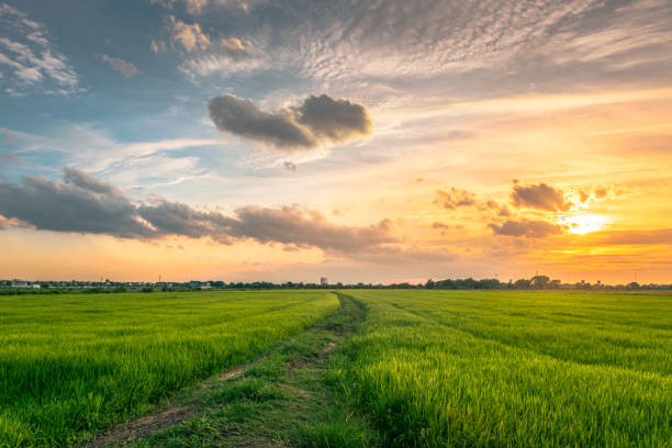 idyllic view of rice fields against sky during sunset,thailand - horizontal stock pictures, royalty-free photos & images