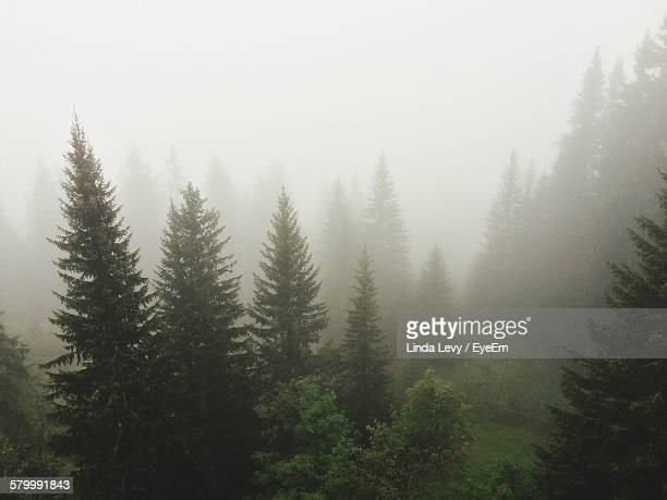 Idyllic View Of Trees In Forest During Foggy Weather