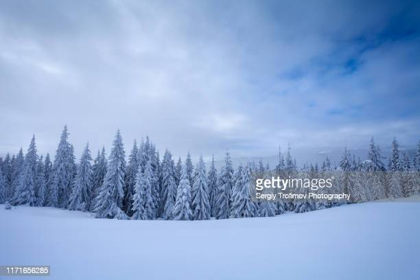 idyllic winter scene in mountain forest, snow capped trees after blizzard - ukraine landscape stock pictures, royalty-free photos & images