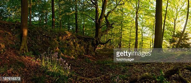 Idílico woodland Clareira vibrante do nascer do sol de Verão flores silvestres Floresta panorama