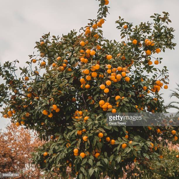 iew of garden with orange trees hung with ripe fruits in the harvest.Agricultural rural landscape