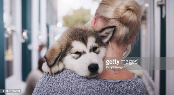 if cute was a picture - husky dog stock pictures, royalty-free photos & images