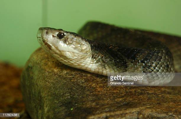 If there is any time of year when snakes aren't a worry in Florida summer should be it Pictured is a cottonmouth or water moccasin