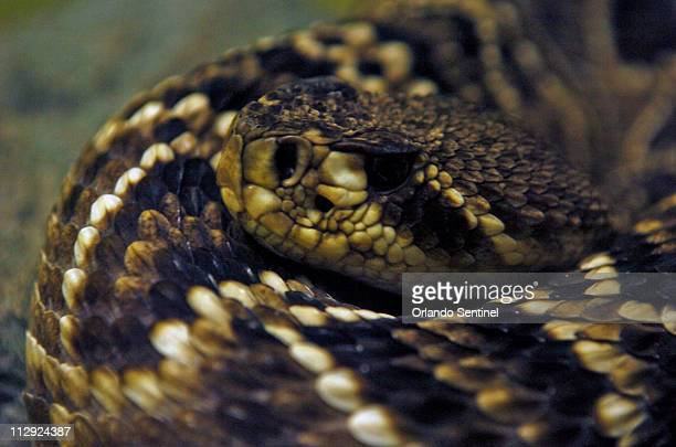 If there is any time of year when snakes aren't a worry in Florida summer should be it Pictured is a Eastern diamondback rattlesnake