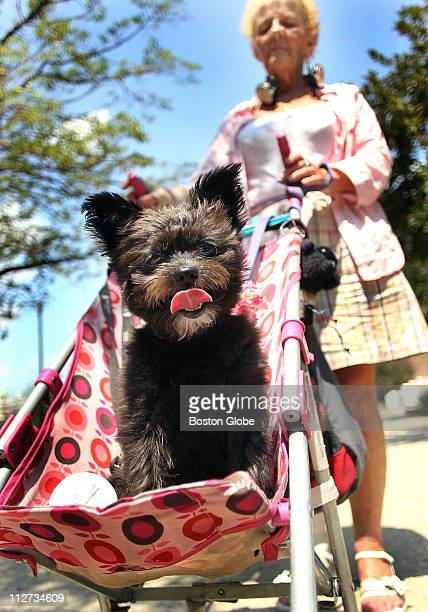 If these are the dog days of summer then sixyearold Katrina is having one of those days as her concerned owner Jeanne Messinger of Boston wheeled her...