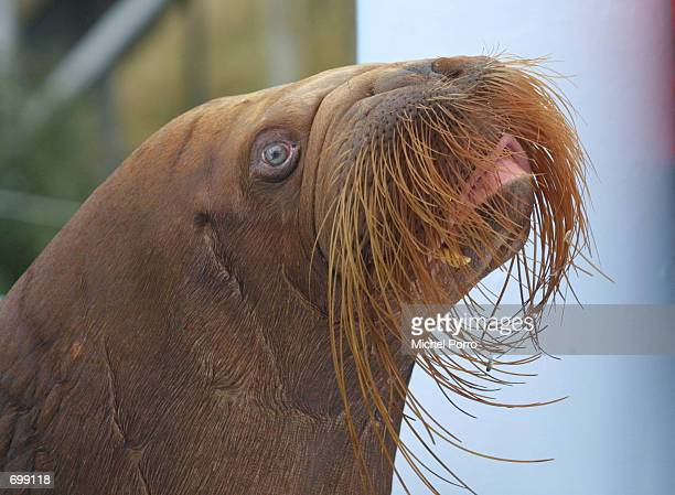 Igor the Walrus relaxes February 7 2002 at the dolphin and walrus park named Dolfinarium in Harderwijk The Netherlands The Dolfinarium will open to...