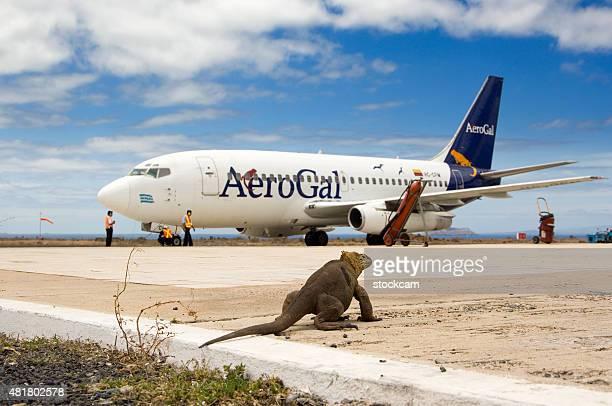 iguana e aerogal aereo sull'aeroporto di baltra, isole galapagos - iguana foto e immagini stock