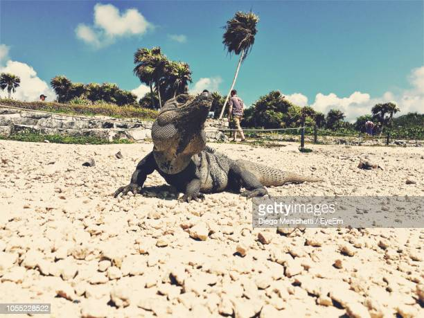 iguana at beach with man in background on sunny day - land iguana imagens e fotografias de stock