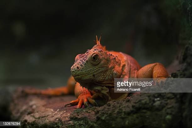 iguana at warm red lamp - adriano ficarelli stock-fotos und bilder