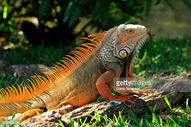 iguana basking in sun, florida, usa - iguana fotografías e imágenes de stock