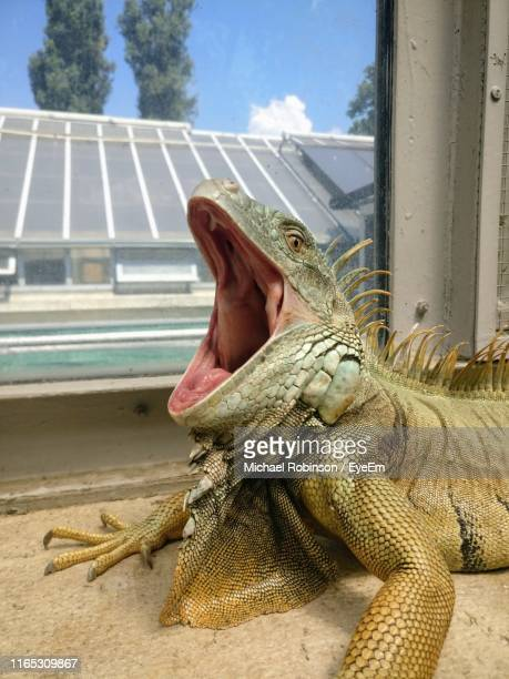 iguana by window at zoo - michael robinson stock pictures, royalty-free photos & images