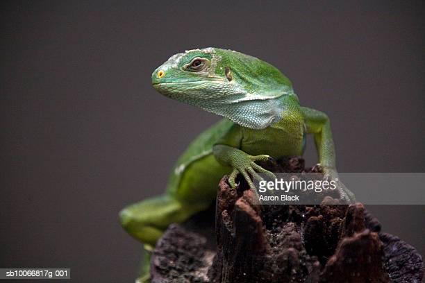 Iguana, close-up