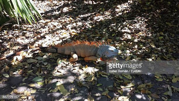 Iguana Crawling On Messy Land